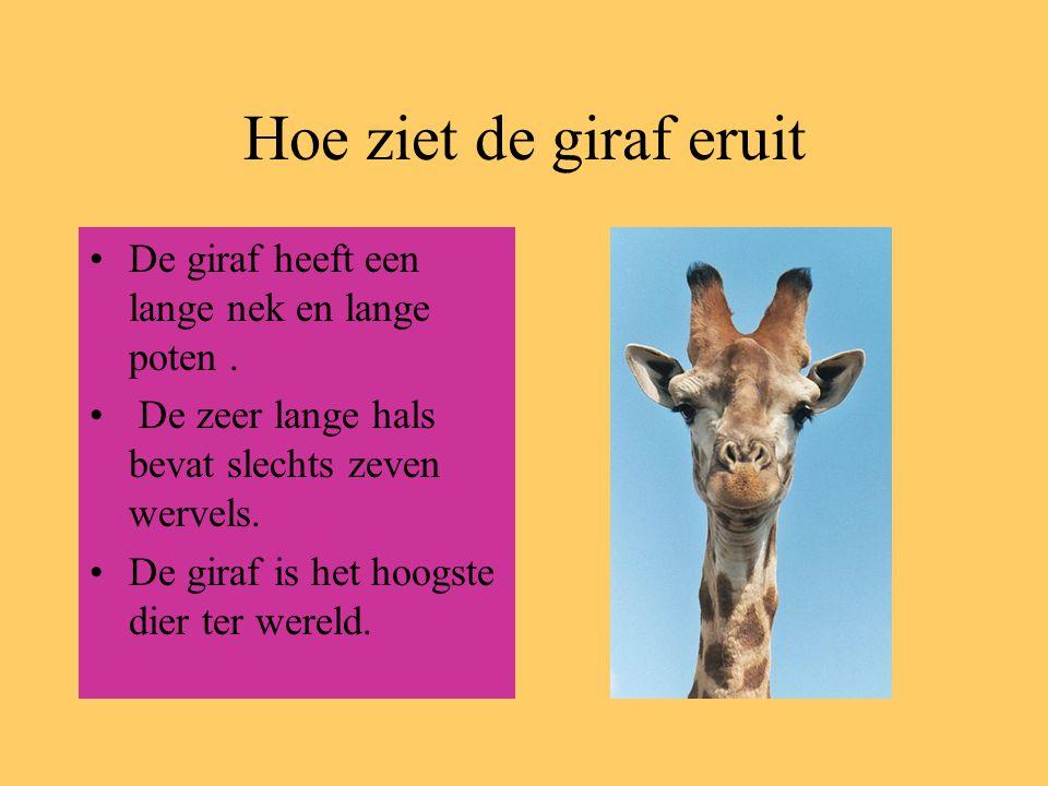 Hoe ziet de giraf eruit De giraf heeft een lange nek en lange poten .