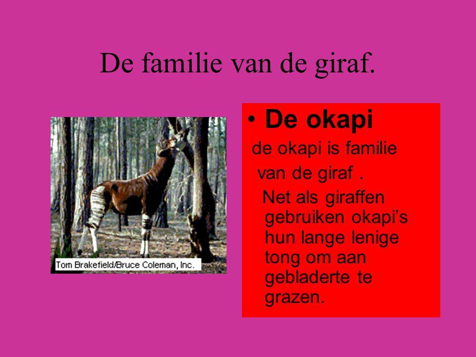 De familie van de giraf. De okapi de okapi is familie van de giraf .