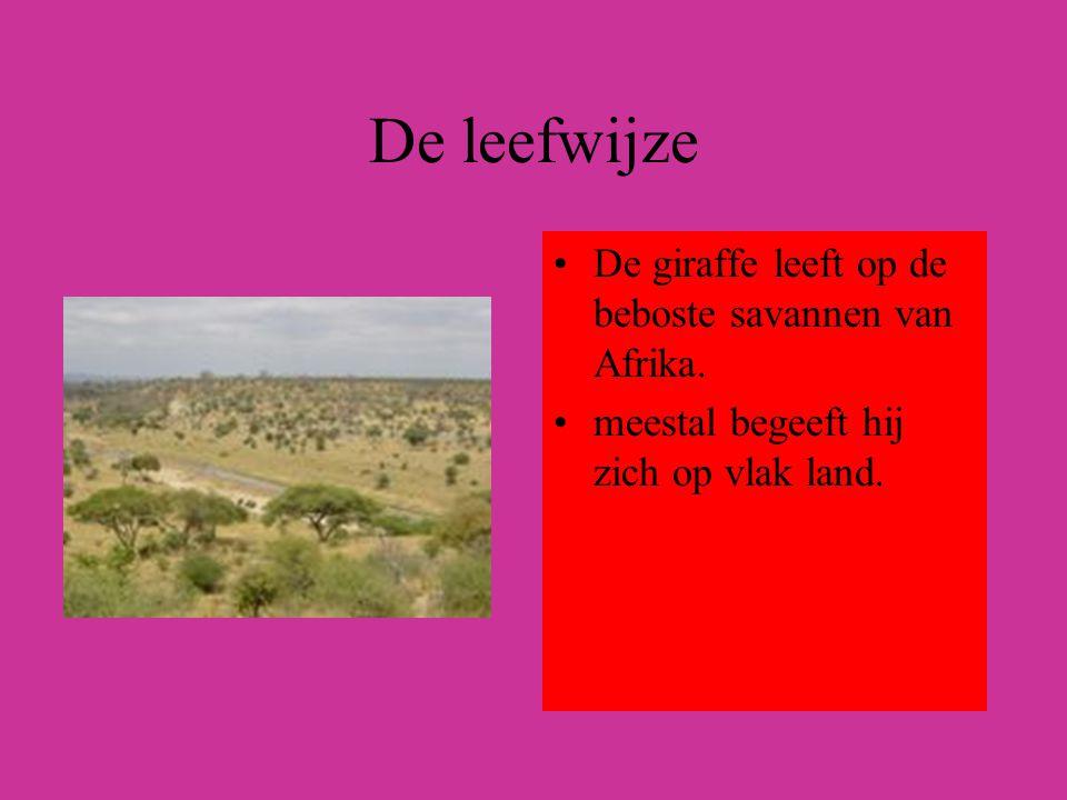 De leefwijze De giraffe leeft op de beboste savannen van Afrika.