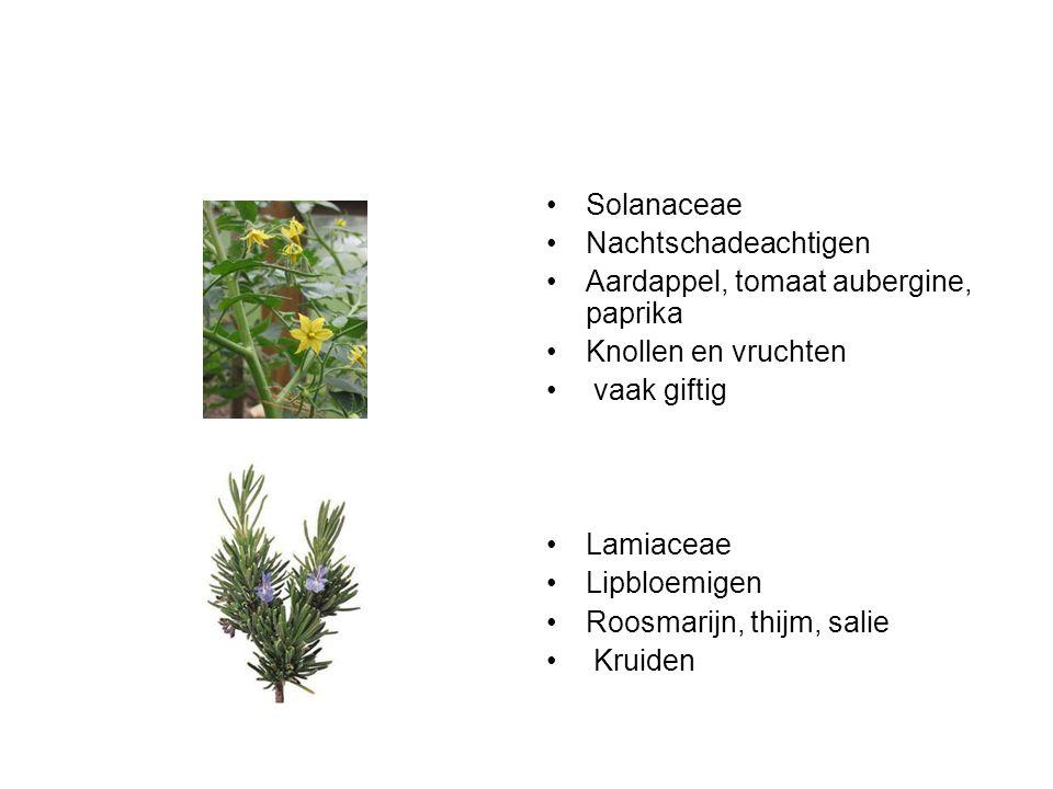 Solanaceae Nachtschadeachtigen. Aardappel, tomaat aubergine, paprika. Knollen en vruchten. vaak giftig.