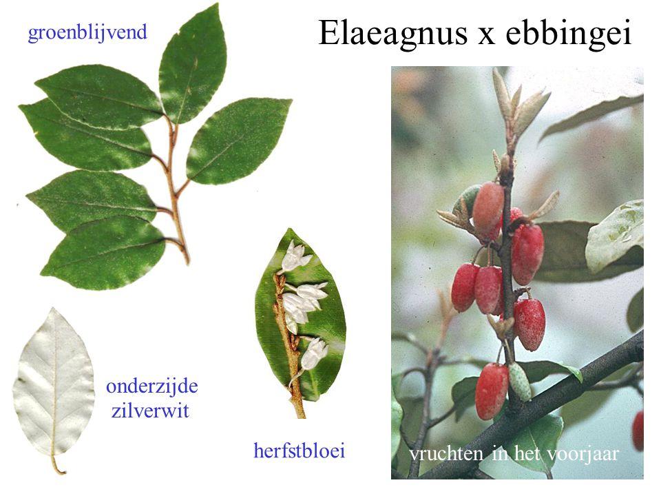 Elaeagnus x ebbingei groenblijvend onderzijde zilverwit herfstbloei