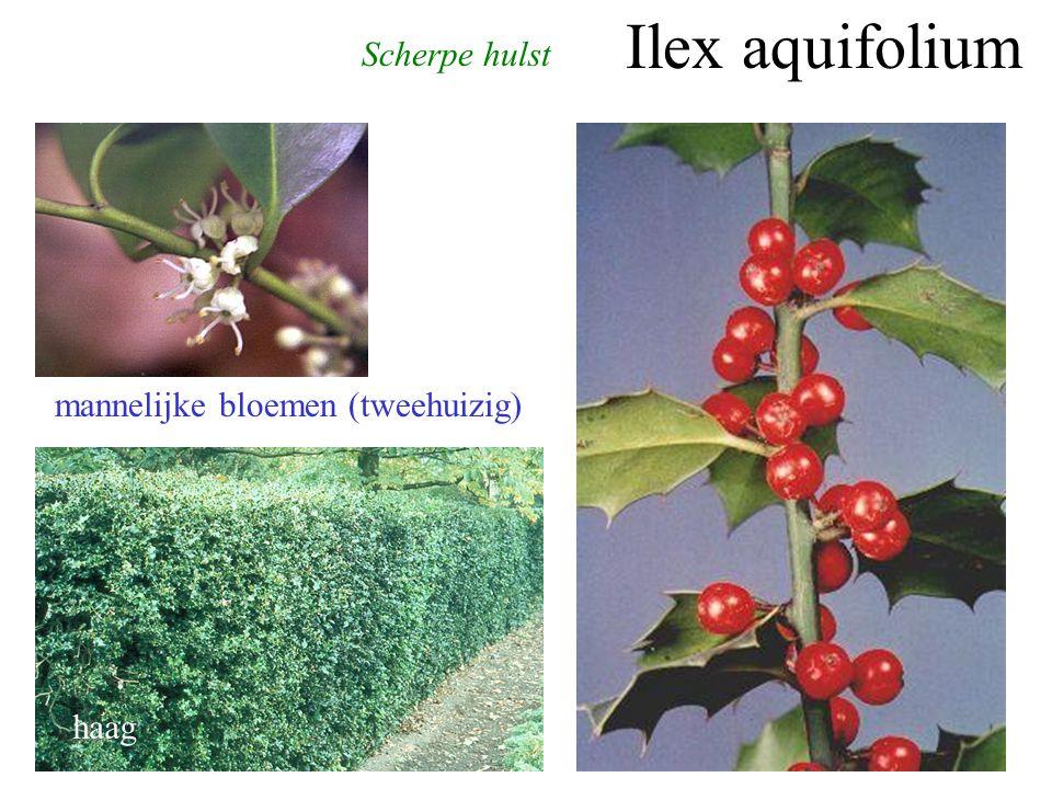 Ilex aquifolium Scherpe hulst mannelijke bloemen (tweehuizig) haag