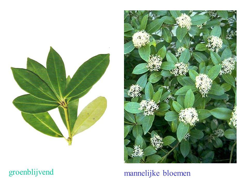 Skimmia japonica blad, mnl. bloei