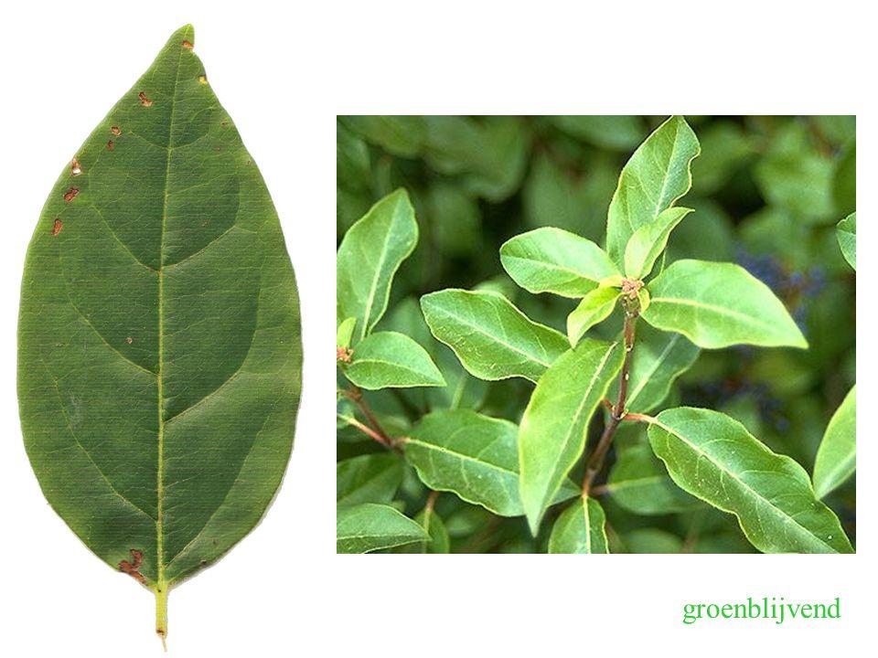 Viburnum tinus, blad groenblijvend