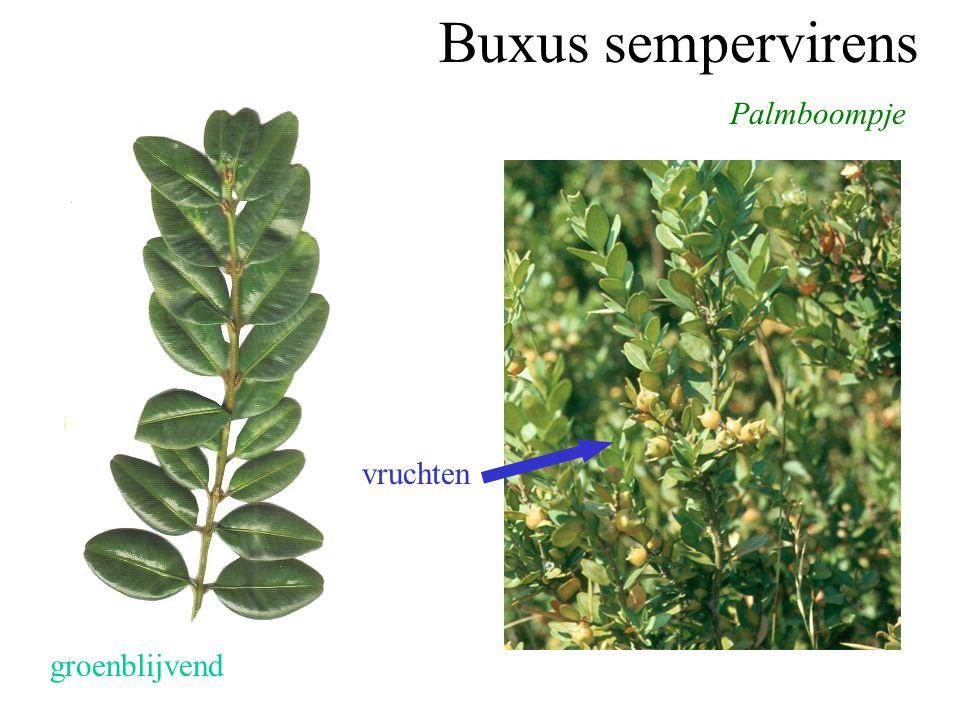 Buxus sempervirens Palmboompje vruchten groenblijvend