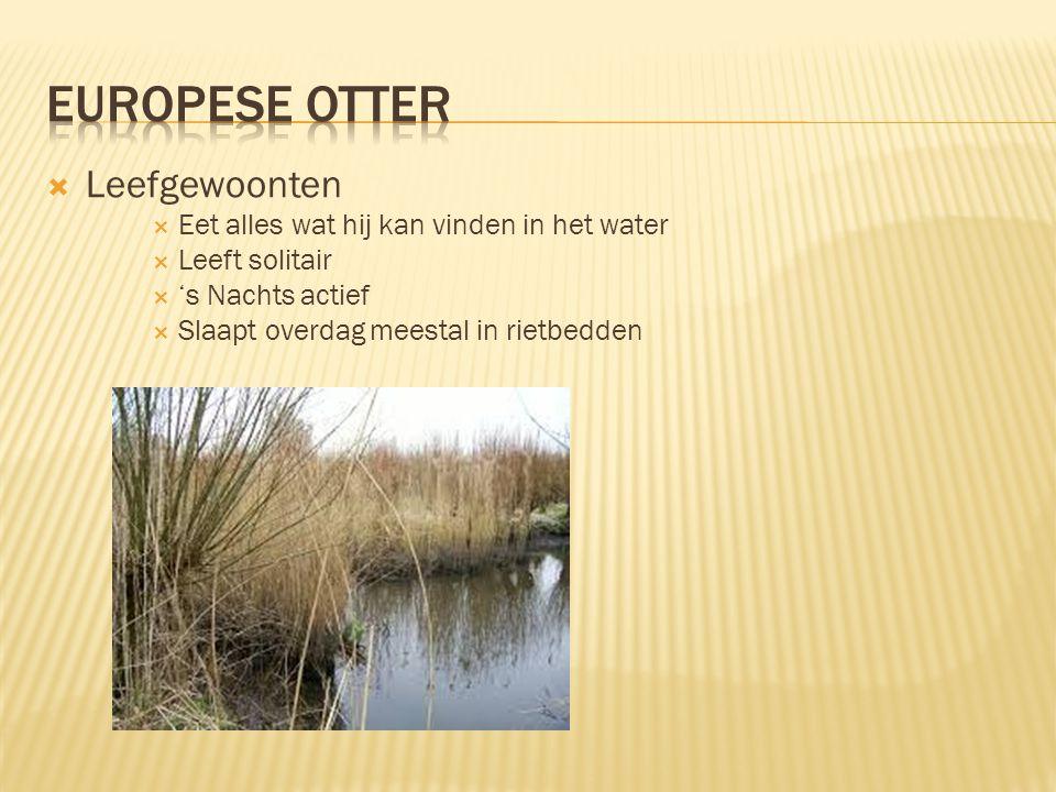 Europese Otter Leefgewoonten Eet alles wat hij kan vinden in het water
