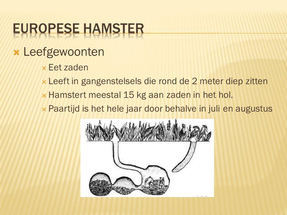 Europese hamster Leefgewoonten Eet zaden