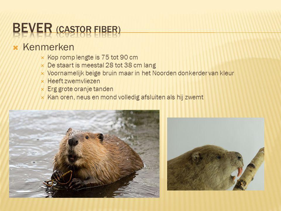 Bever (Castor Fiber) Kenmerken Kop romp lengte is 75 tot 90 cm