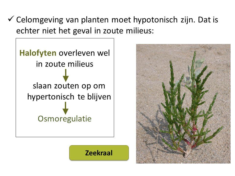 Halofyten overleven wel in zoute milieus
