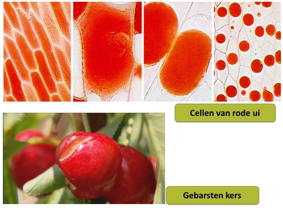 Cellen van rode ui Gebarsten kers