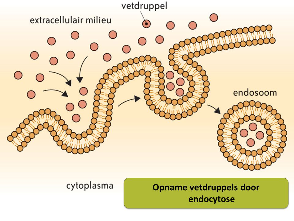 Opname vetdruppels door endocytose