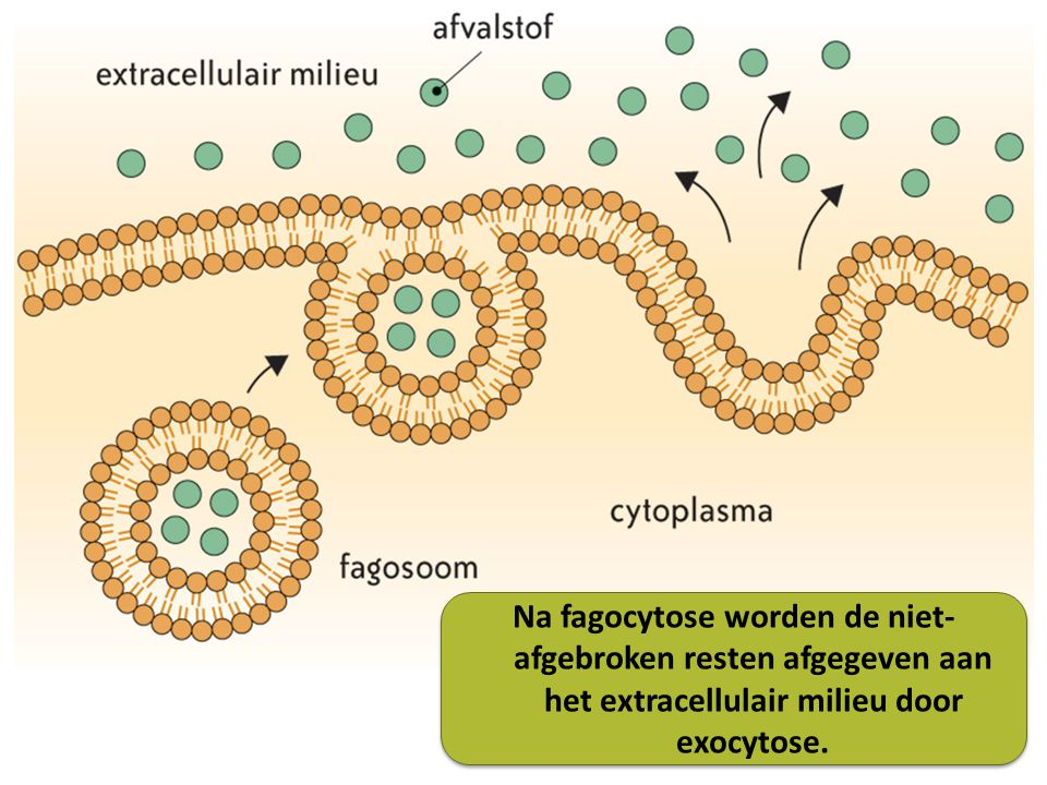 Na fagocytose worden de niet-afgebroken resten afgegeven aan het extracellulair milieu door exocytose.