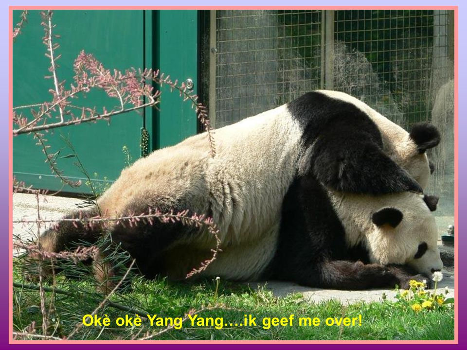 Okè okè Yang Yang….ik geef me over!