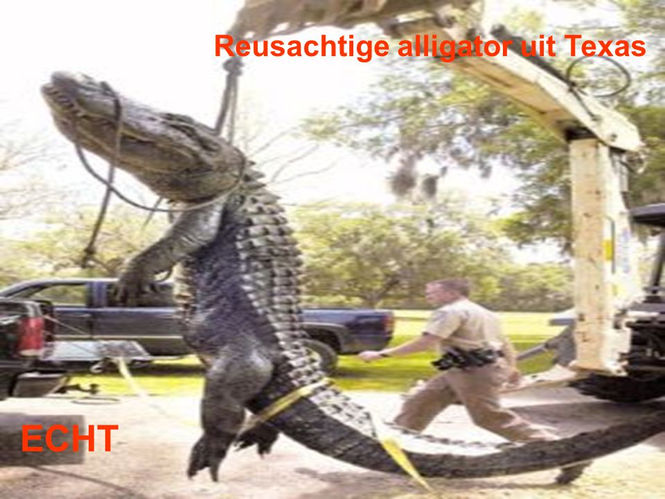 Reusachtige alligator uit Texas