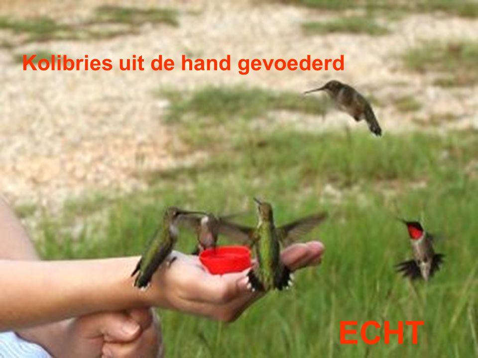 Kolibries uit de hand gevoederd