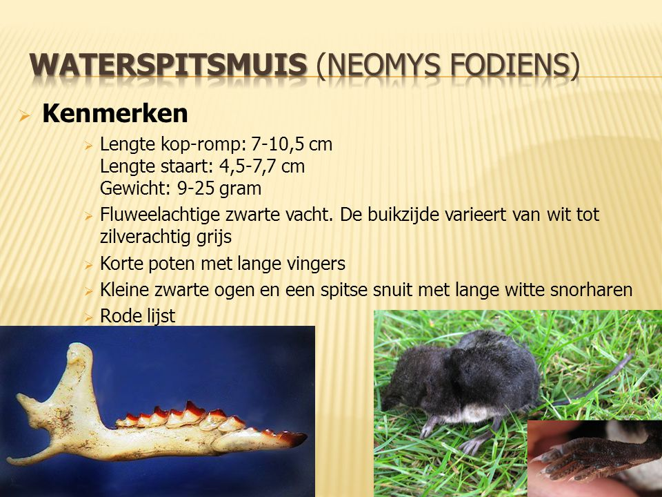 waterspitsmuis (Neomys fodiens)