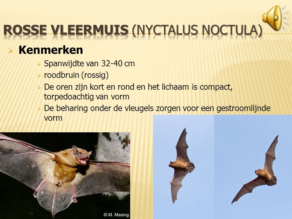 rosse vleermuis (Nyctalus noctula)