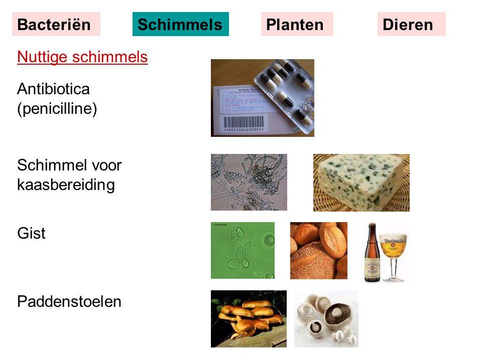 Bacteriën Schimmels. Planten. Dieren. Nuttige schimmels. Antibiotica (penicilline) Schimmel voor kaasbereiding.