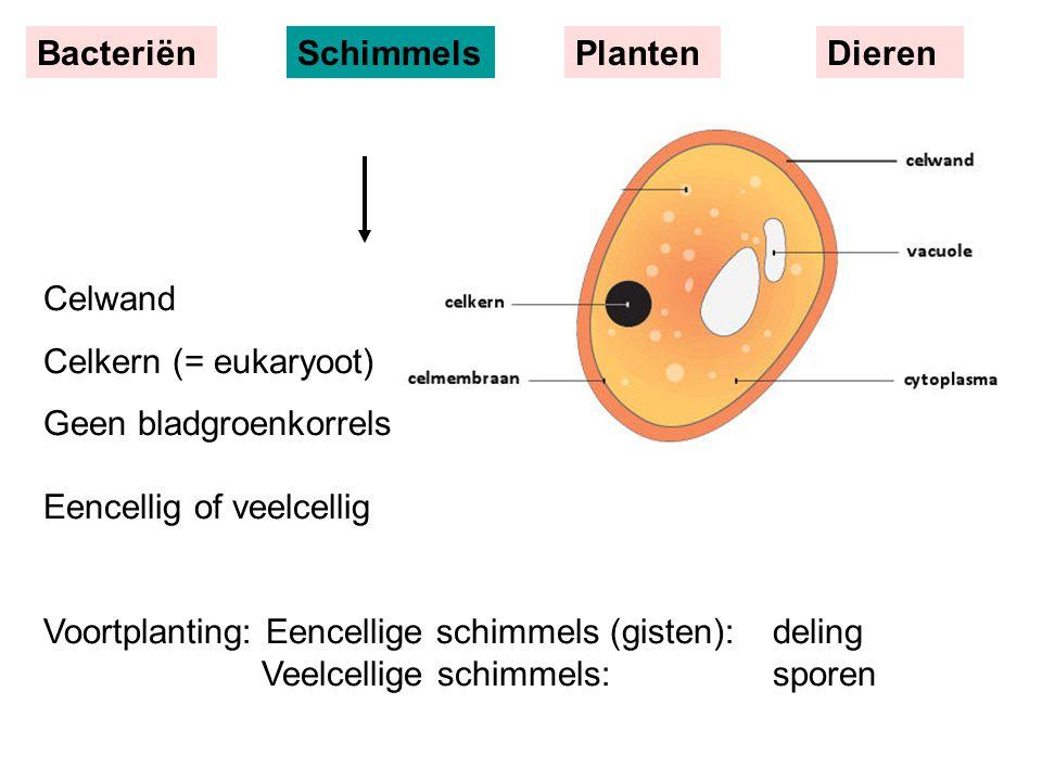 Bacteriën Schimmels. Planten. Dieren. Celwand. Celkern (= eukaryoot) Geen bladgroenkorrels Eencellig of veelcellig.