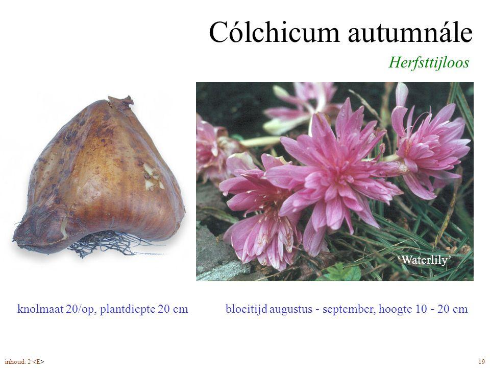 Cólchicum autumnále Herfsttijloos knolmaat 20/op, plantdiepte 20 cm