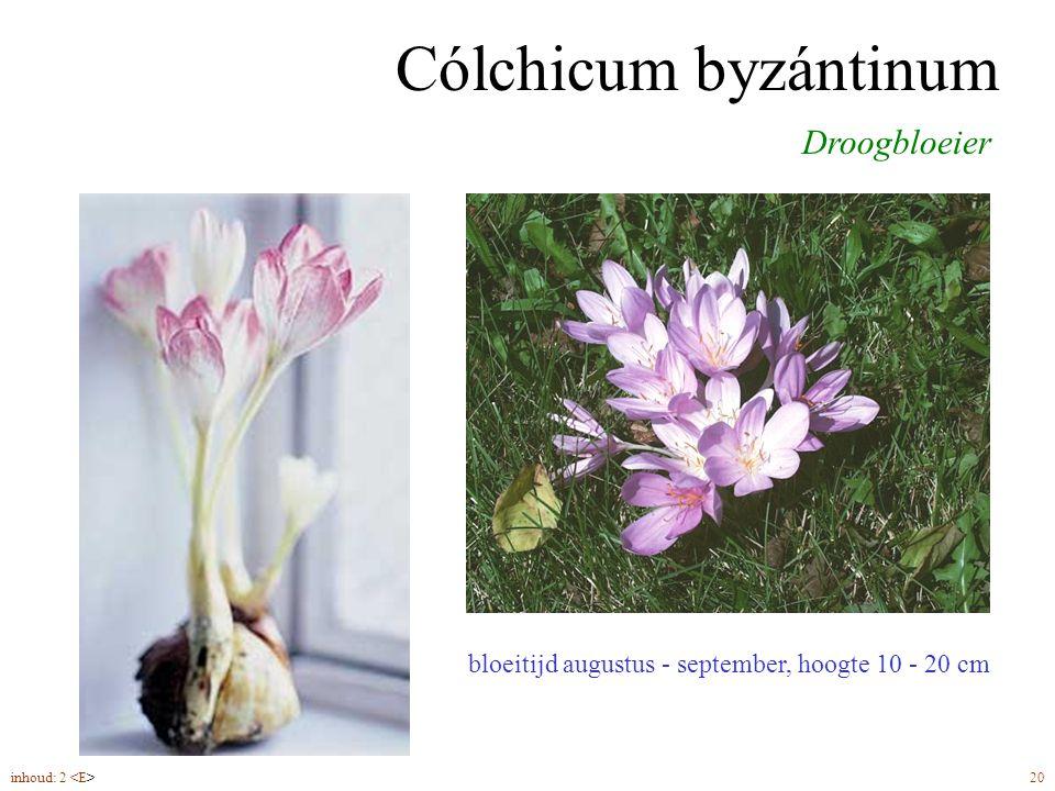 Cólchicum byzántinum Droogbloeier