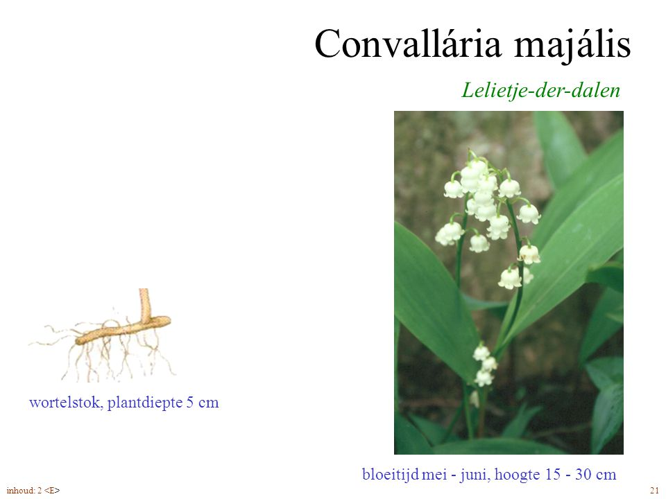 Convallária majális Lelietje-der-dalen wortelstok, plantdiepte 5 cm