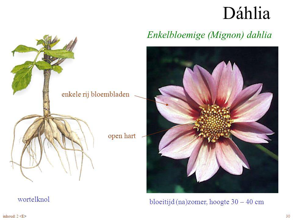 Dáhlia Enkelbloemige (Mignon) dahlia enkele rij bloembladen open hart