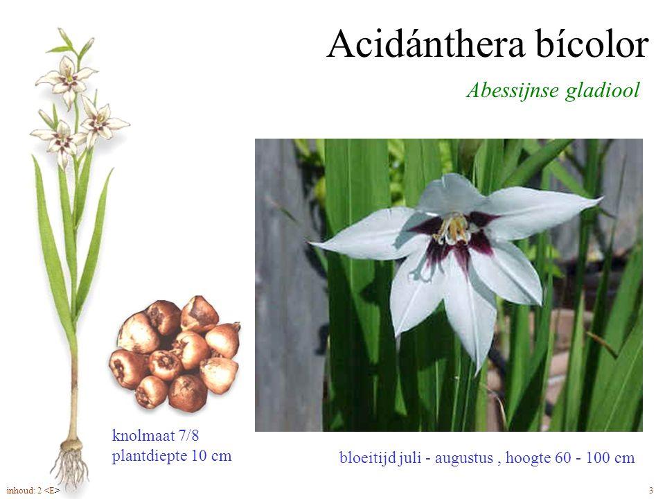 Acidánthera bícolor Abessijnse gladiool knolmaat 7/8 plantdiepte 10 cm