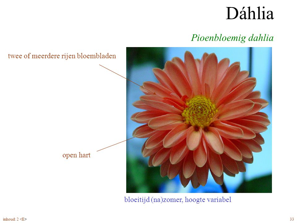 Dáhlia Pioenbloemig dahlia twee of meerdere rijen bloembladen