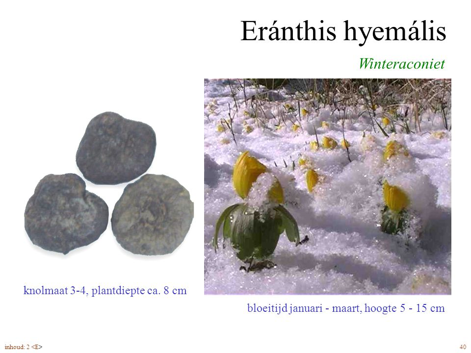Eránthis hyemális Winteraconiet knolmaat 3-4, plantdiepte ca. 8 cm