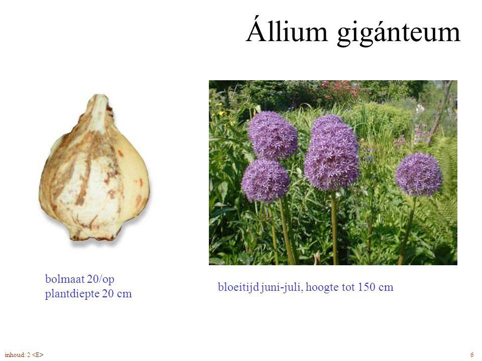 Állium gigánteum bolmaat 20/op plantdiepte 20 cm