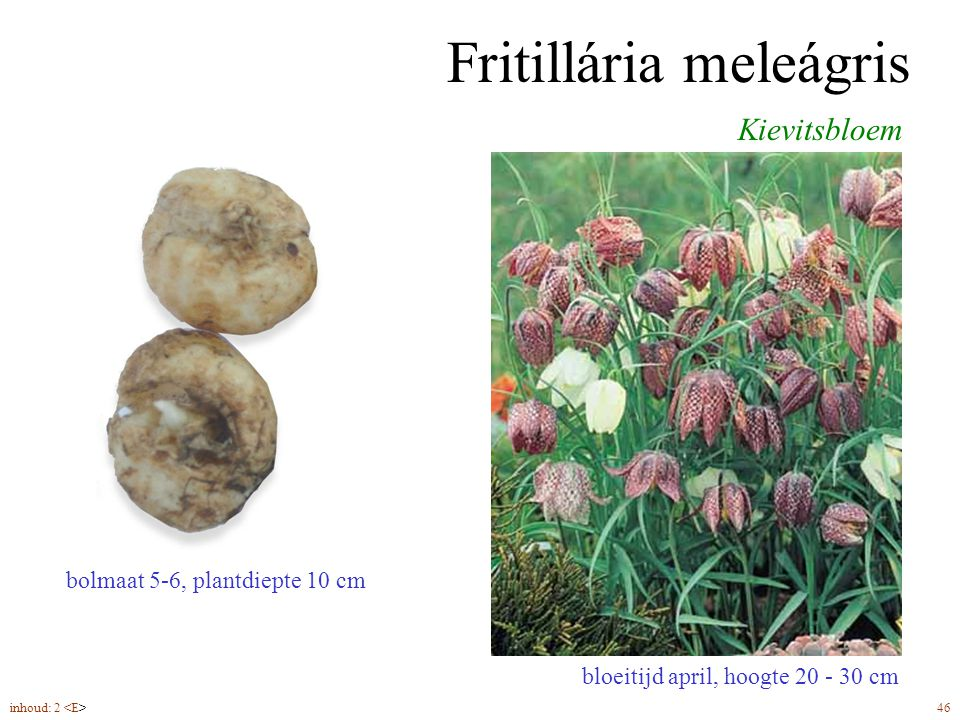 Fritillária meleágris