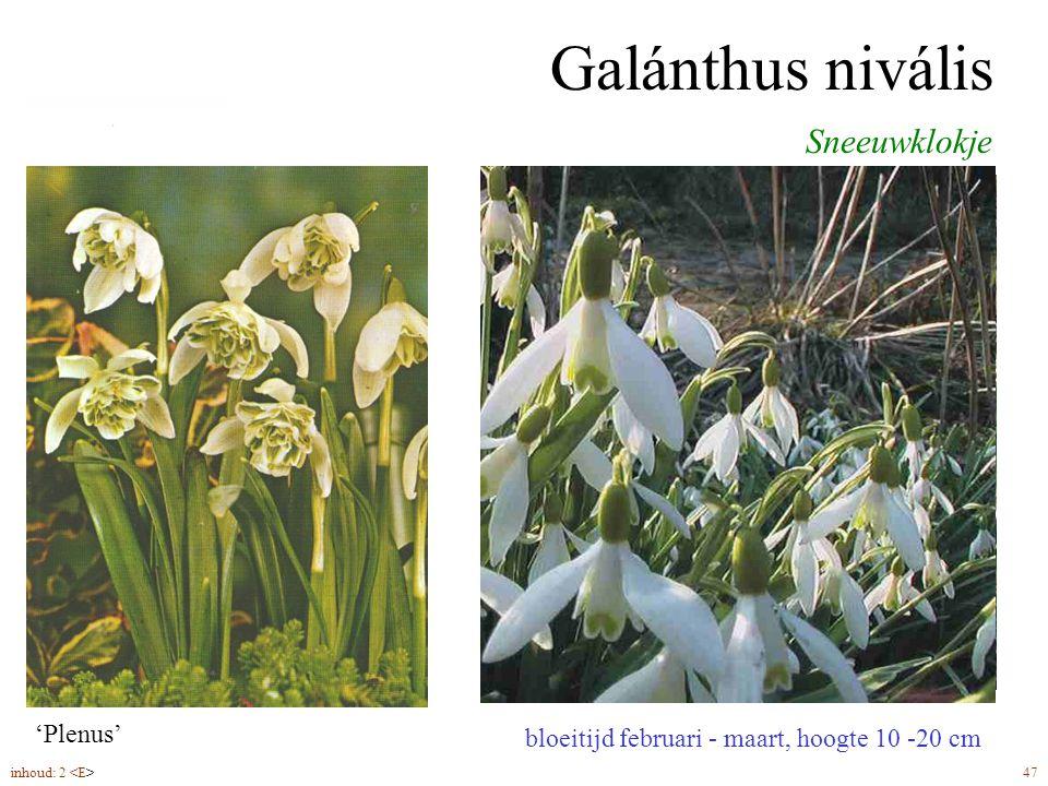 Galánthus nivális Sneeuwklokje bolmaat 5-6 plantdiepte 10 cm 'Plenus'