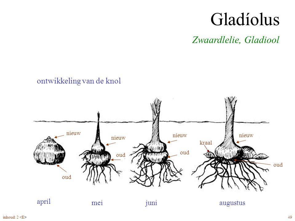 Gladíolus Zwaardlelie, Gladiool ontwikkeling van de knol