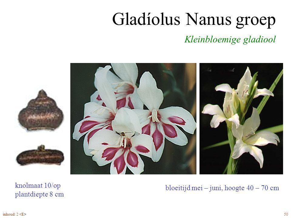Gladíolus Nanus groep Kleinbloemige gladiool knolmaat 10/op