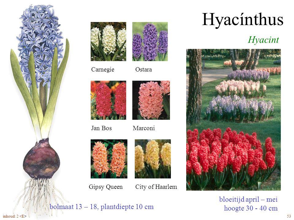Hyacínthus Hyacint bloeitijd april – mei hoogte 30 - 40 cm