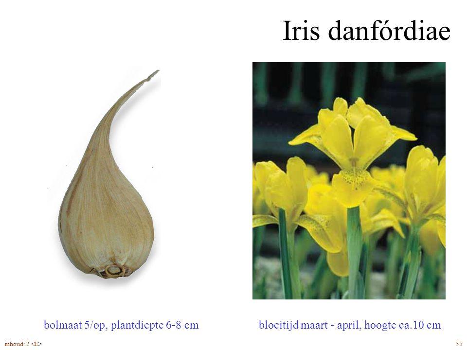 Iris danfórdiae bolmaat 5/op, plantdiepte 6-8 cm