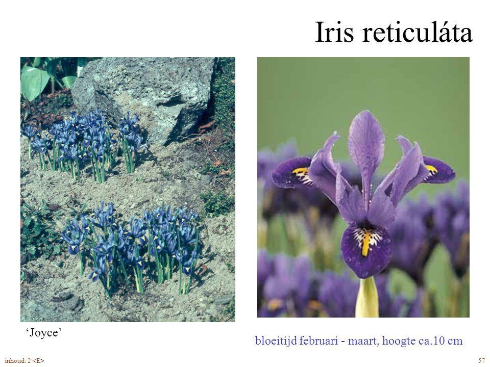 Iris reticuláta 'Joyce' bolmaat 5/op, plantdiepte 6-8 cm
