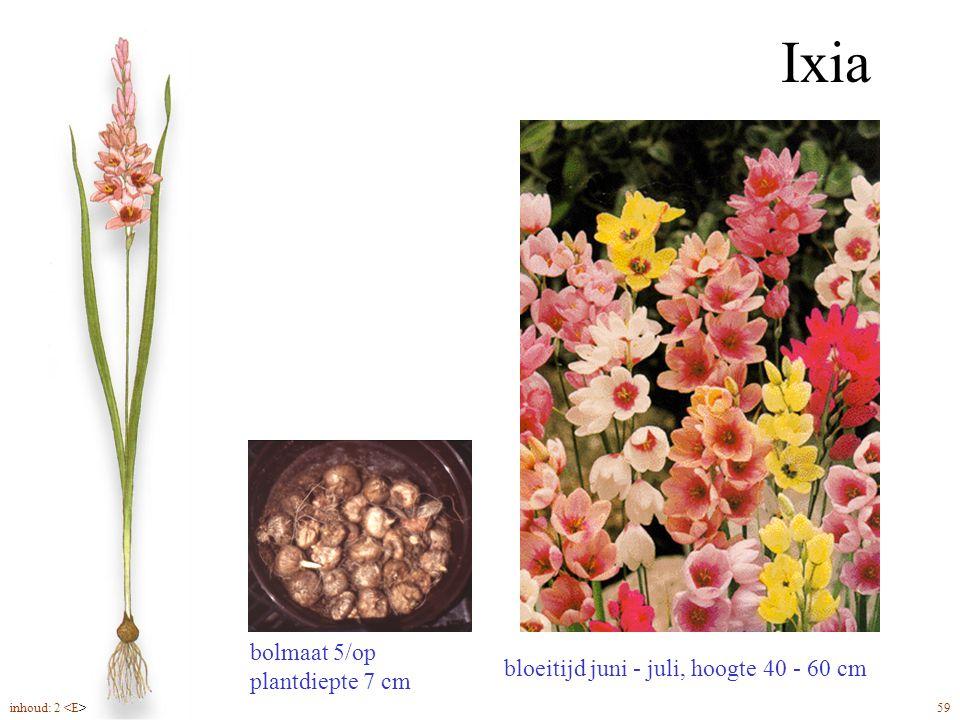 Ixia bolmaat 5/op plantdiepte 7 cm