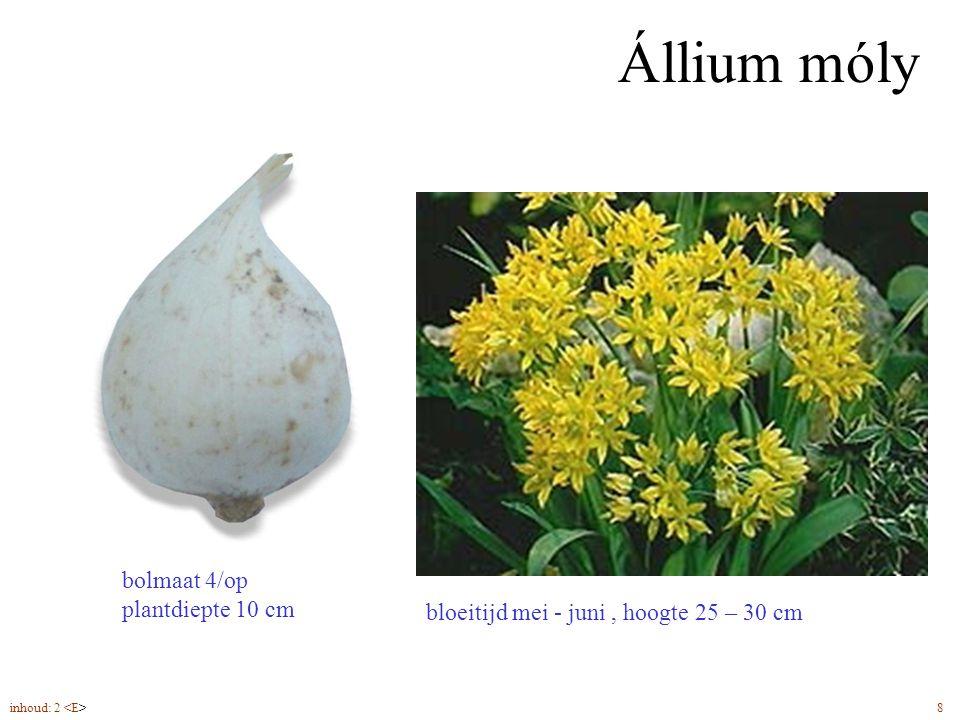 Állium móly bolmaat 4/op plantdiepte 10 cm
