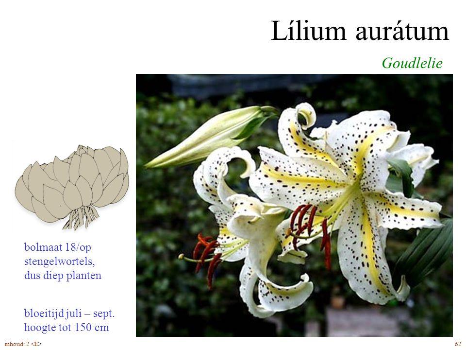 Lílium aurátum Goudlelie