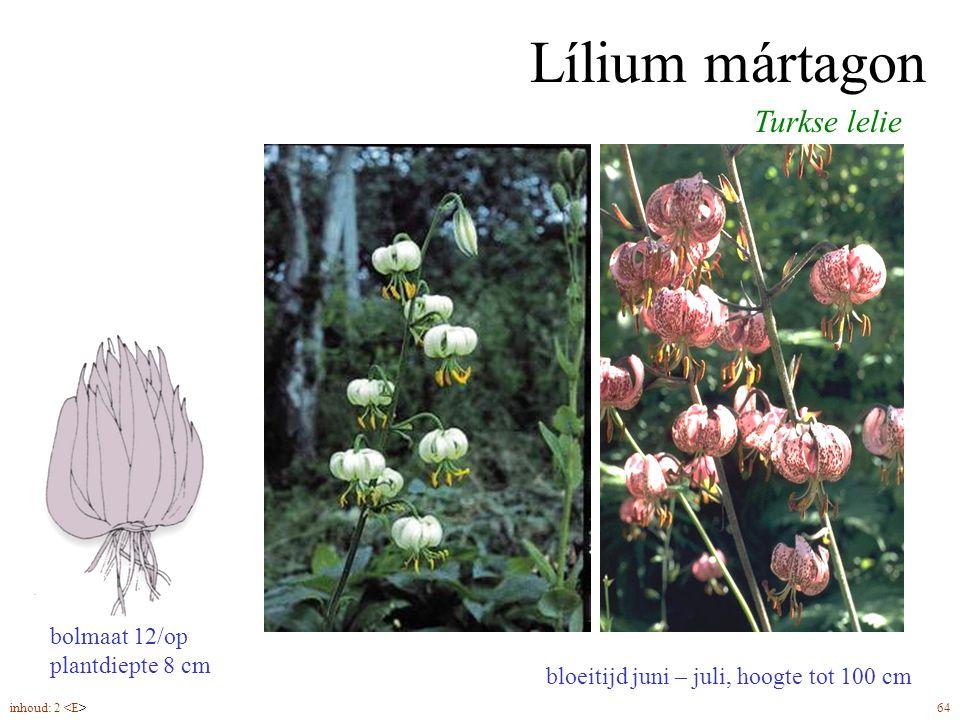 Lílium mártagon Turkse lelie bolmaat 12/op plantdiepte 8 cm