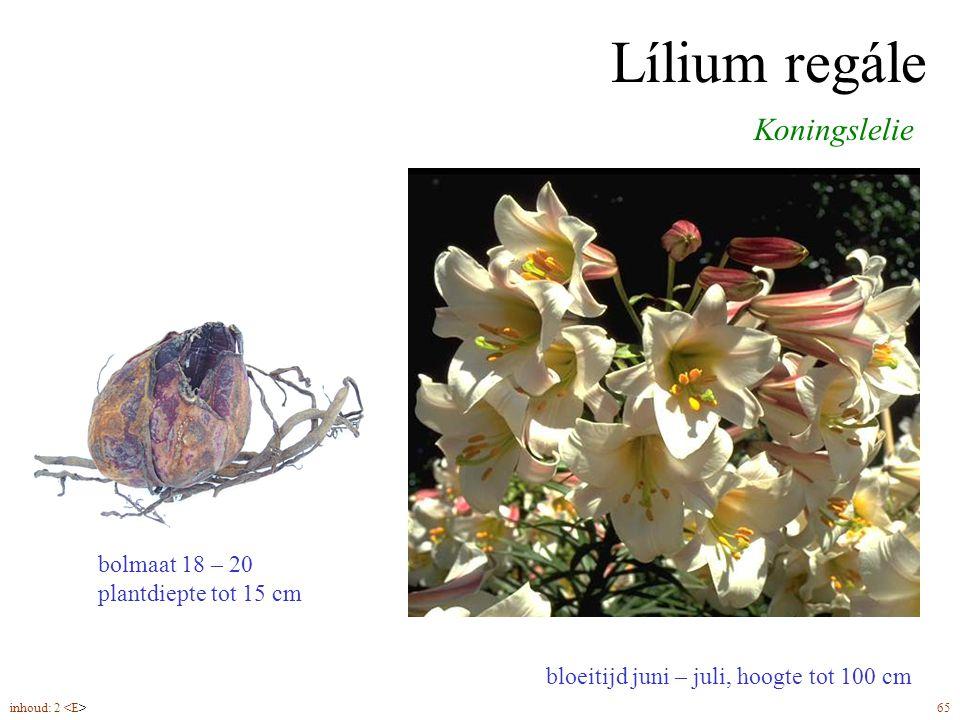 Lílium regále Koningslelie bolmaat 18 – 20 plantdiepte tot 15 cm