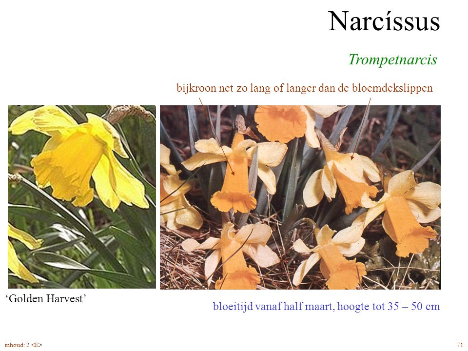 Narcíssus Trompetnarcis