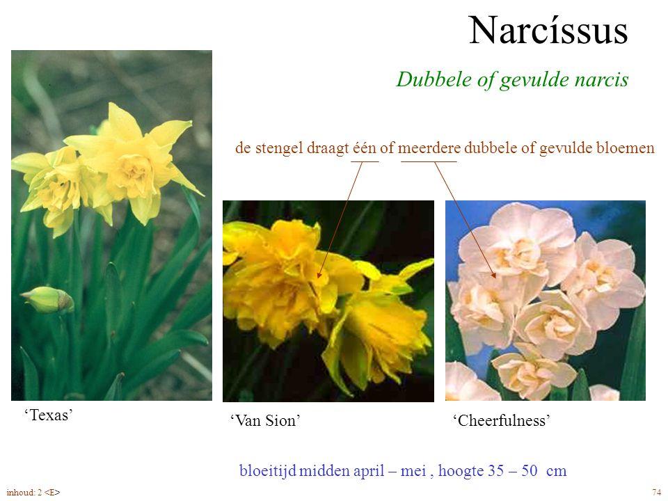 Narcíssus dubbelbloemig