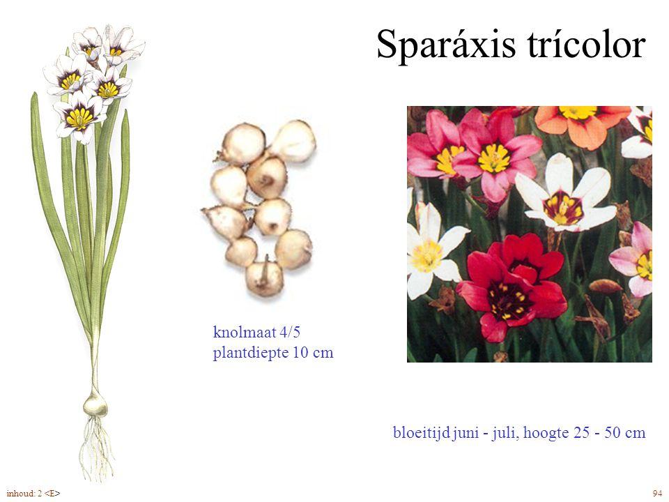 Sparáxis trícolor knolmaat 4/5 plantdiepte 10 cm