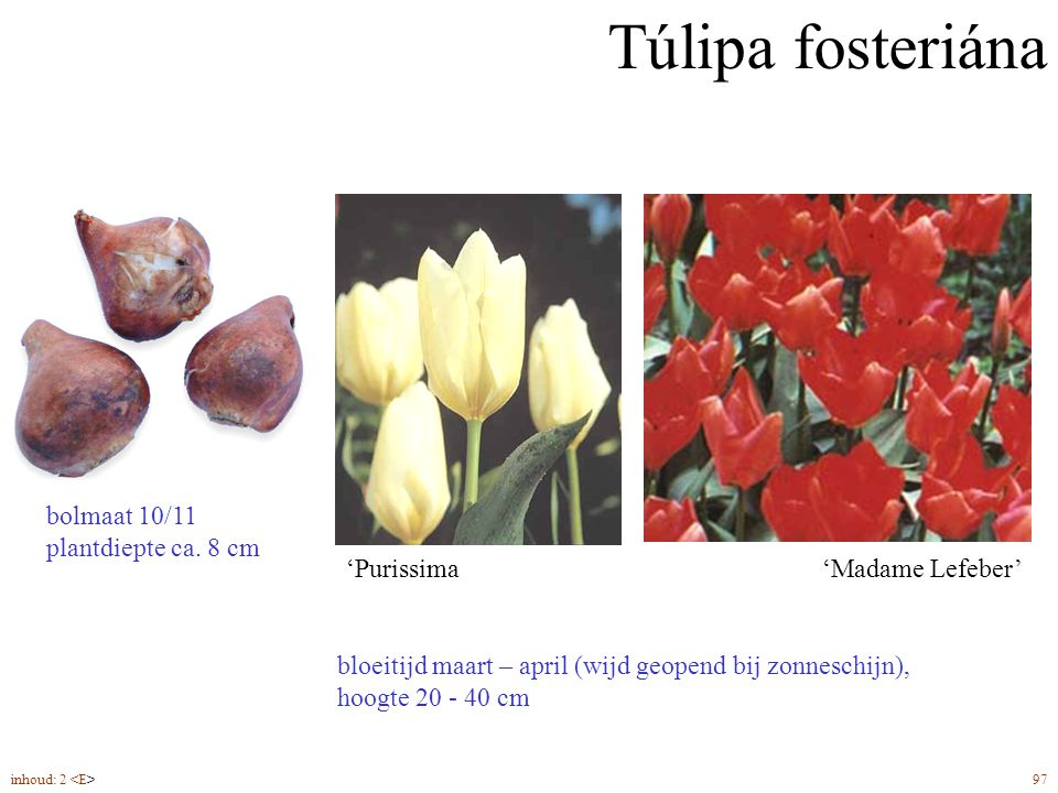 Túlipa fosteriána bolmaat 10/11 plantdiepte ca. 8 cm 'Purissima