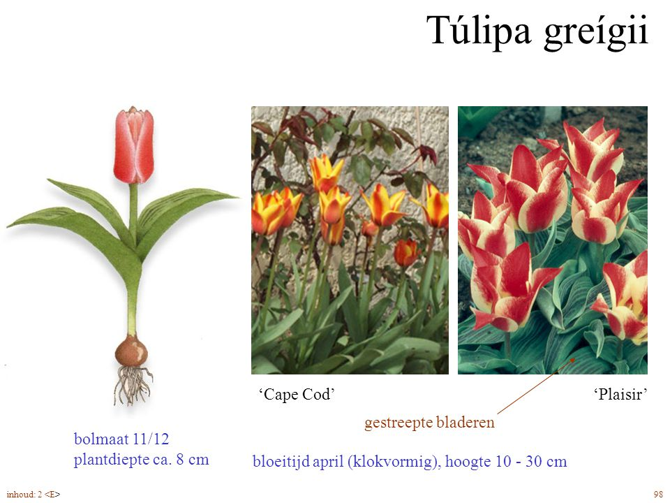 Túlipa greígii bolmaat 11/12 plantdiepte ca. 8 cm gestreepte bladeren
