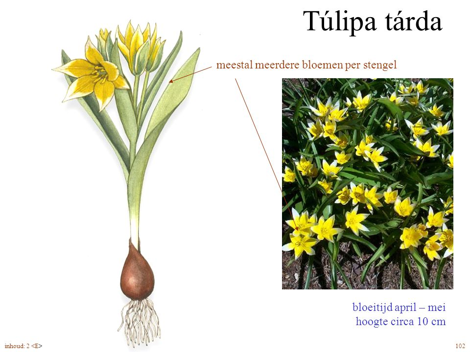 Túlipa tárda meestal meerdere bloemen per stengel bolmaat 6/7