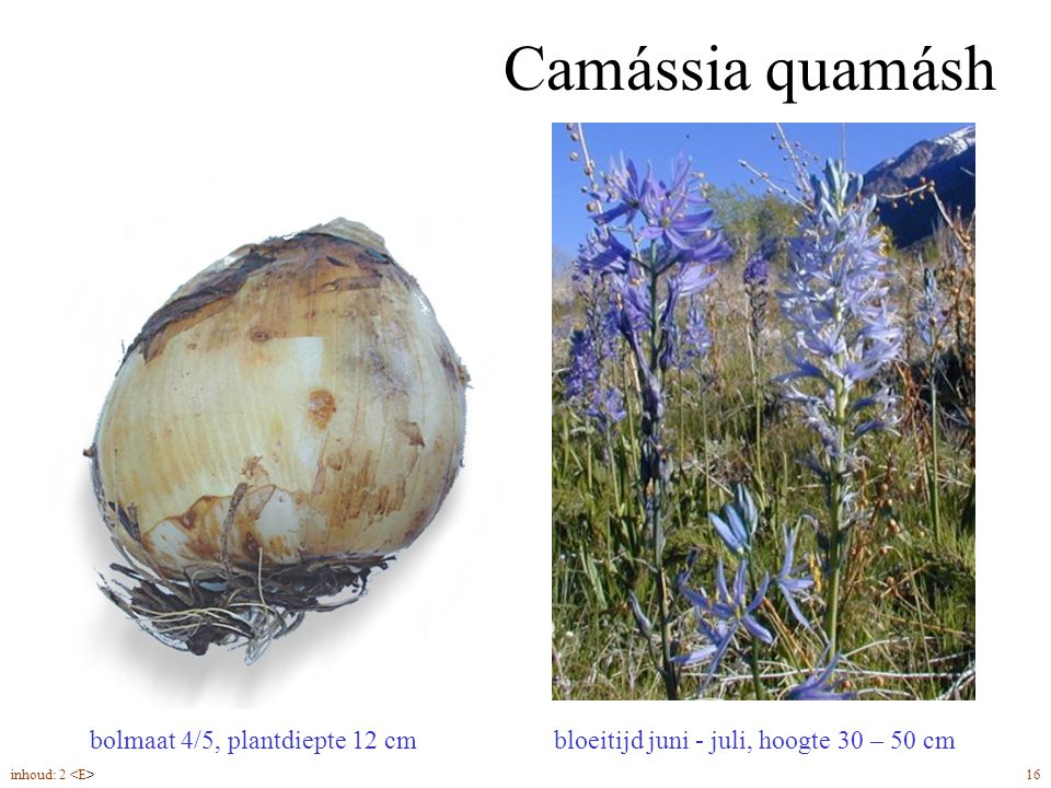 Camássia quamásh bolmaat 4/5, plantdiepte 12 cm